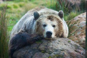 Гризли отдыхает на камне · бесплатное фото