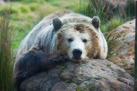 Grizzly bear resting on rock · free photo
