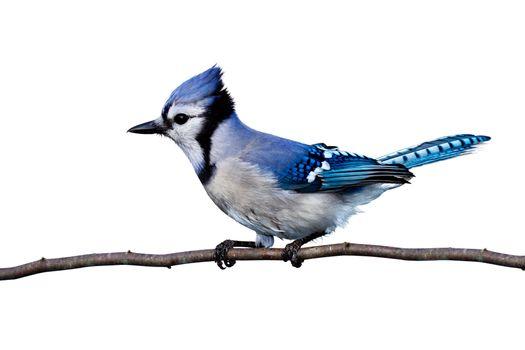 Фото бесплатно птица, синяя, хохолок
