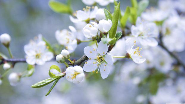 Заставки яблоня, цветки, белые лепестки