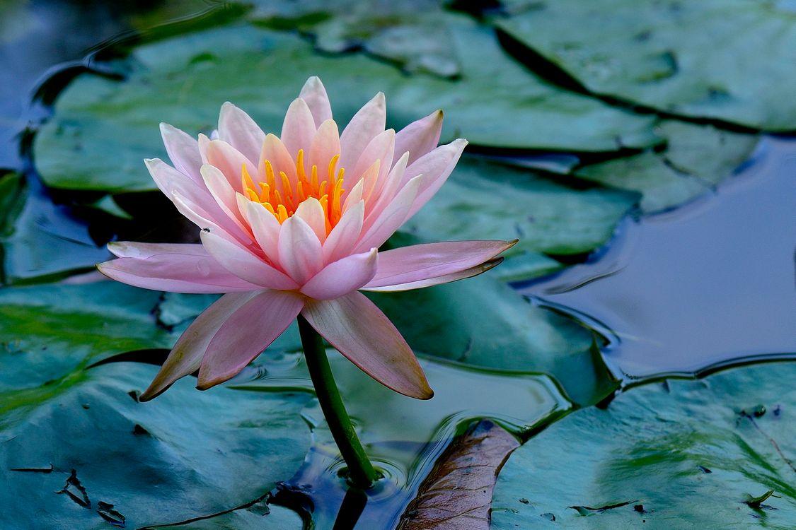 Лилия в пруду · бесплатное фото