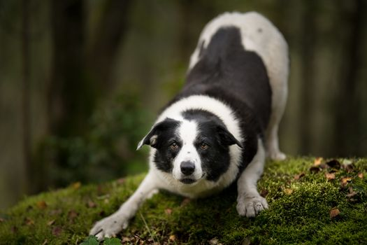 Photo free photograph, pose, border collie
