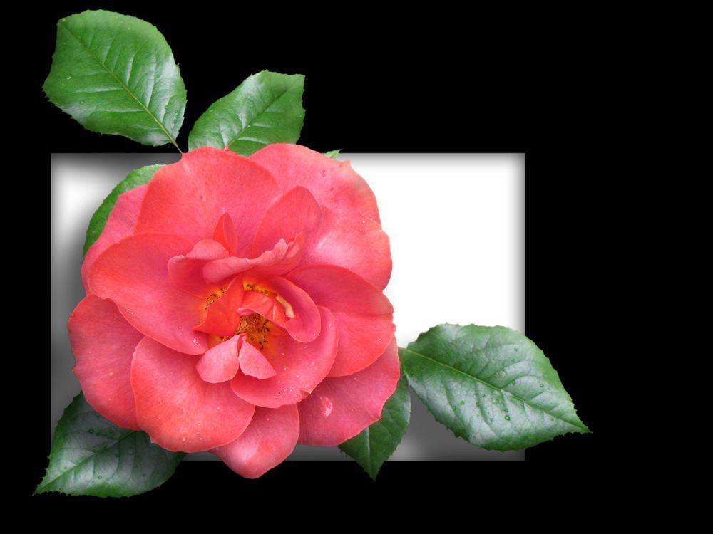 Фото бесплатно цветы, рамки, розы - на рабочий стол