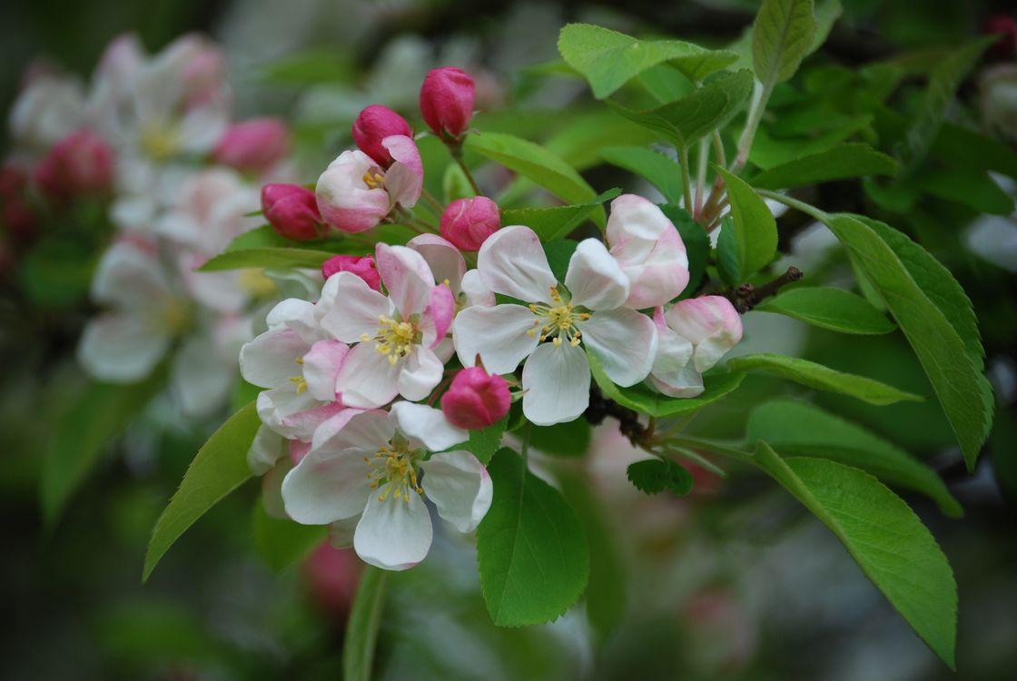 Фото бесплатно яблоня в цвету, Blossoms, цветущая ветка, цветы, флора, весна, цветение, цветы