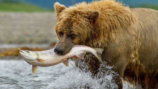 Photo free bear, fish hunting, predator