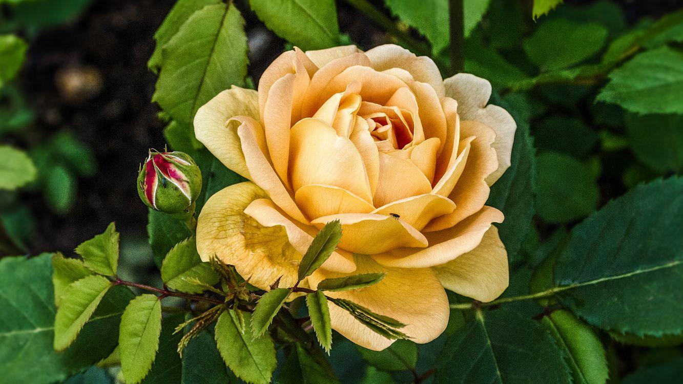 Фото бесплатно цветок, цветы, роза, розы, флора, цветы