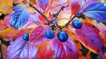 Photo free Buckthorn olhovidnaya buckthorn brittle, autumn, bushes