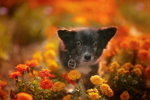 Dog with marigolds · free photo