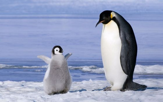Photo free penguin, baby, cute