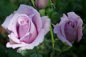 The best varieties of roses