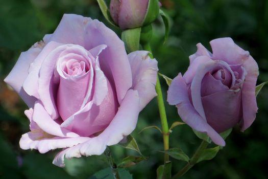 Лучшие сорта роз · бесплатное фото