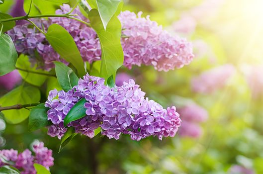 Blooming lilacs · free photo