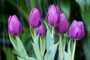 Фото бесплатно флора, цветок, тюльпан