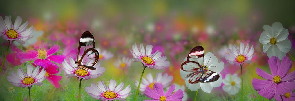 Заставки космея, бабочки, цветок