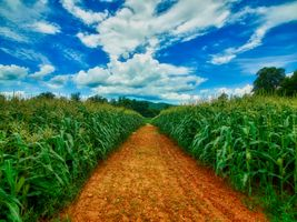 Фото бесплатно кукурузное поле, кукуруза, пашня