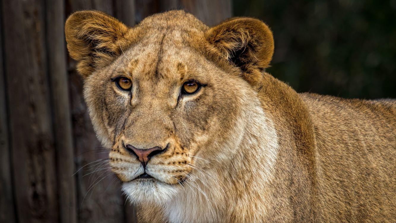 Красивая львица · бесплатное фото