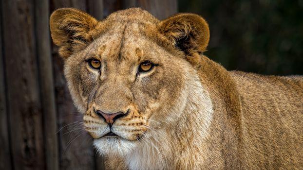 Красивая львица