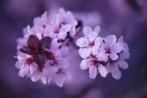 Photo free branch, sakura, blossoming branch