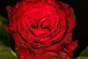Красная роза и капли росы · бесплатное фото