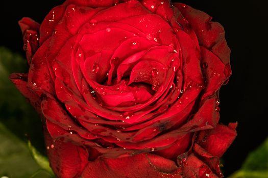 Красная роза и капли росы