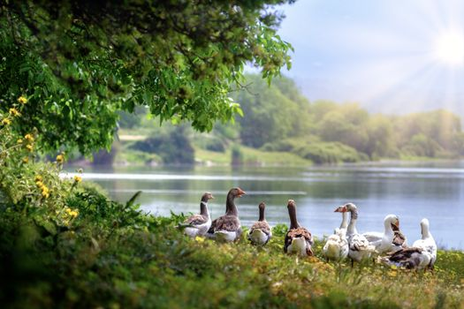 Photo free Wild geese, river, summer day