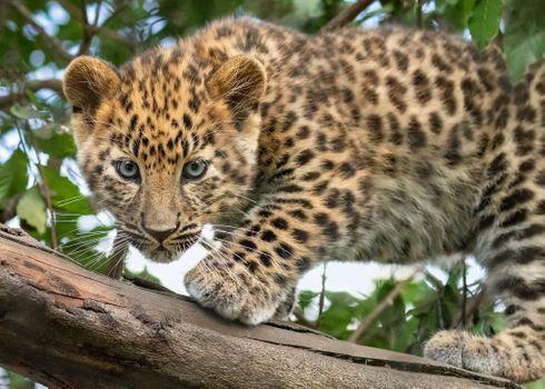 Детеныш леопарда · бесплатное фото