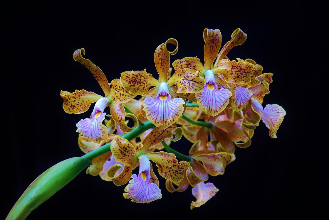 Фото бесплатно орхидея, Orchid, Cattleya velutina - на рабочий стол