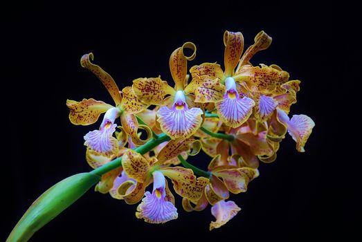 Бесплатные фото орхидея,Orchid,Cattleya velutina