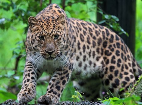 Look at the leopard - free photo