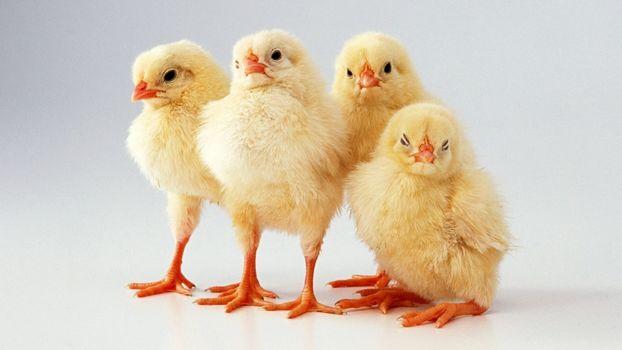 Фото бесплатно цыплята, детские животные, птицы