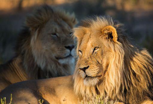 Фото бесплатно львы, грива, близко