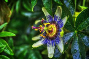 Фото бесплатно Пассифлора, Страстоцвет, Passiflora, Purple Passion Flower, флора, цветок
