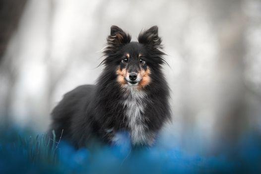 Заставки Шелти, домашнее животное, фотография