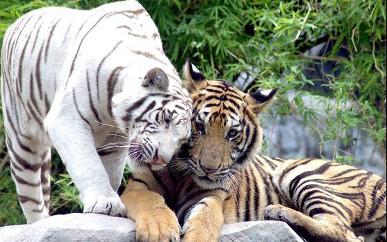 Бесплатные фото кот,пара,тигр,тигры,белый