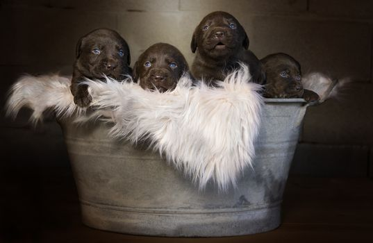 Puppies on a fur bedding in the pelvis · free photo