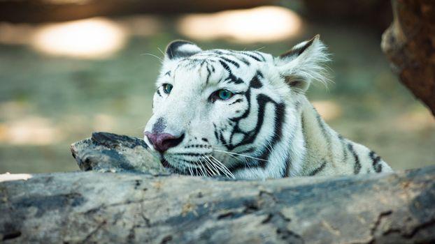 Портрет белого тигра · бесплатное фото