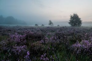lavender in the mist · free photo