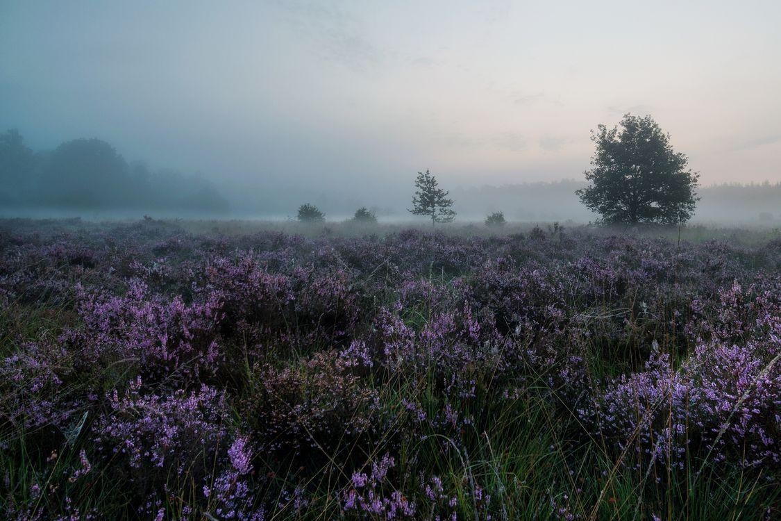 лаванда в тумане · бесплатное фото