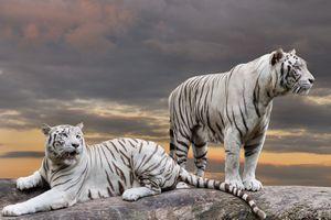 Белые тигры на закате · бесплатное фото