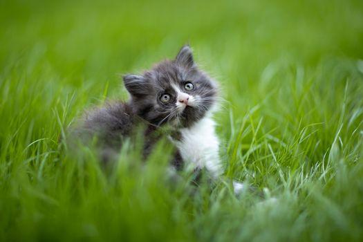 Фото бесплатно котёнок, трава, газон