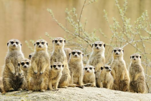 Photo free meerkat, big family, suricate