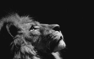 Фото бесплатно лев, морда, взгляд