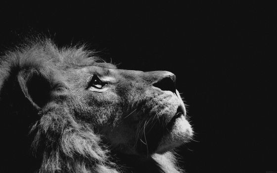 Photo free lion, muzzle, view