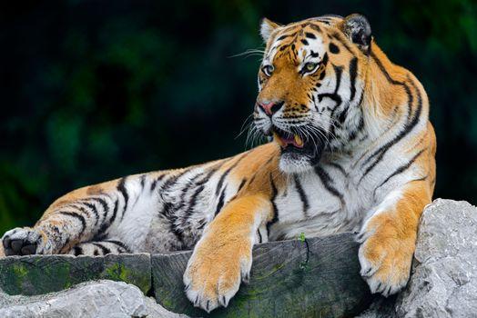 Фото бесплатно поза, животное, дикая кошка