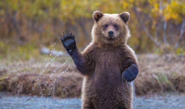Photo free brown bear paw, water, wild