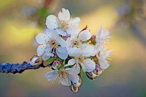 Лепестки вишни