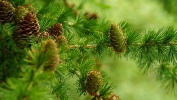 Фото бесплатно Лиственница, хвойное растение семейства сосновых, ветки