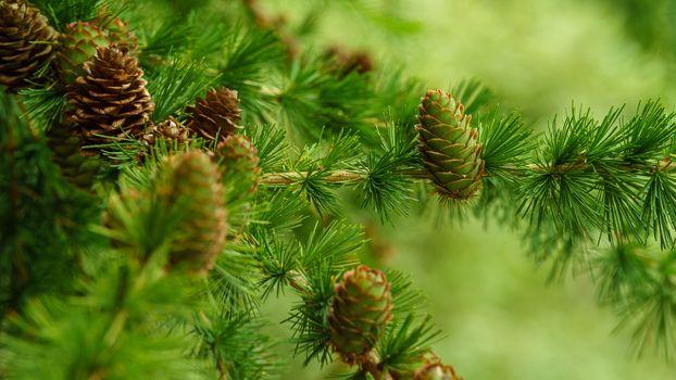 Заставки Лиственница,хвойное растение семейства сосновых,ветки,шишки,иголки,макро,природа