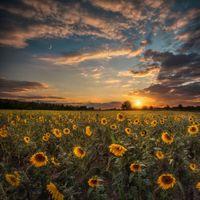 Бесплатные фото поле,подсолнухи,цветы,флора,закат,небо,пейзаж