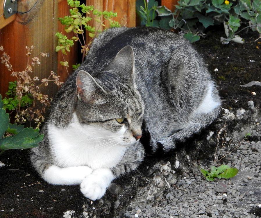 Фото бесплатно кот, лежа, глядя - на рабочий стол
